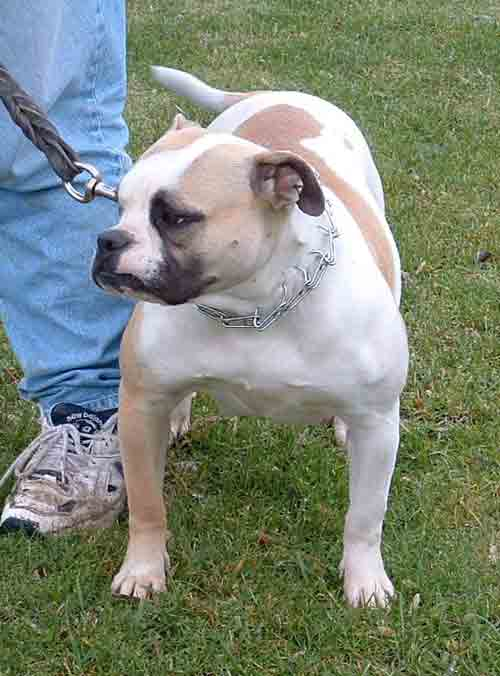 American Bulldog - Rebel Rose's Coco