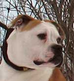 American Bulldog Hurricane Creek's Queen of Hearts