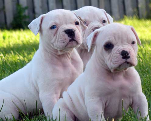 american bulldog puppies waiting for dinner