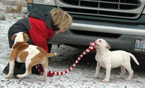 american-bulldog-puppies-for-sale