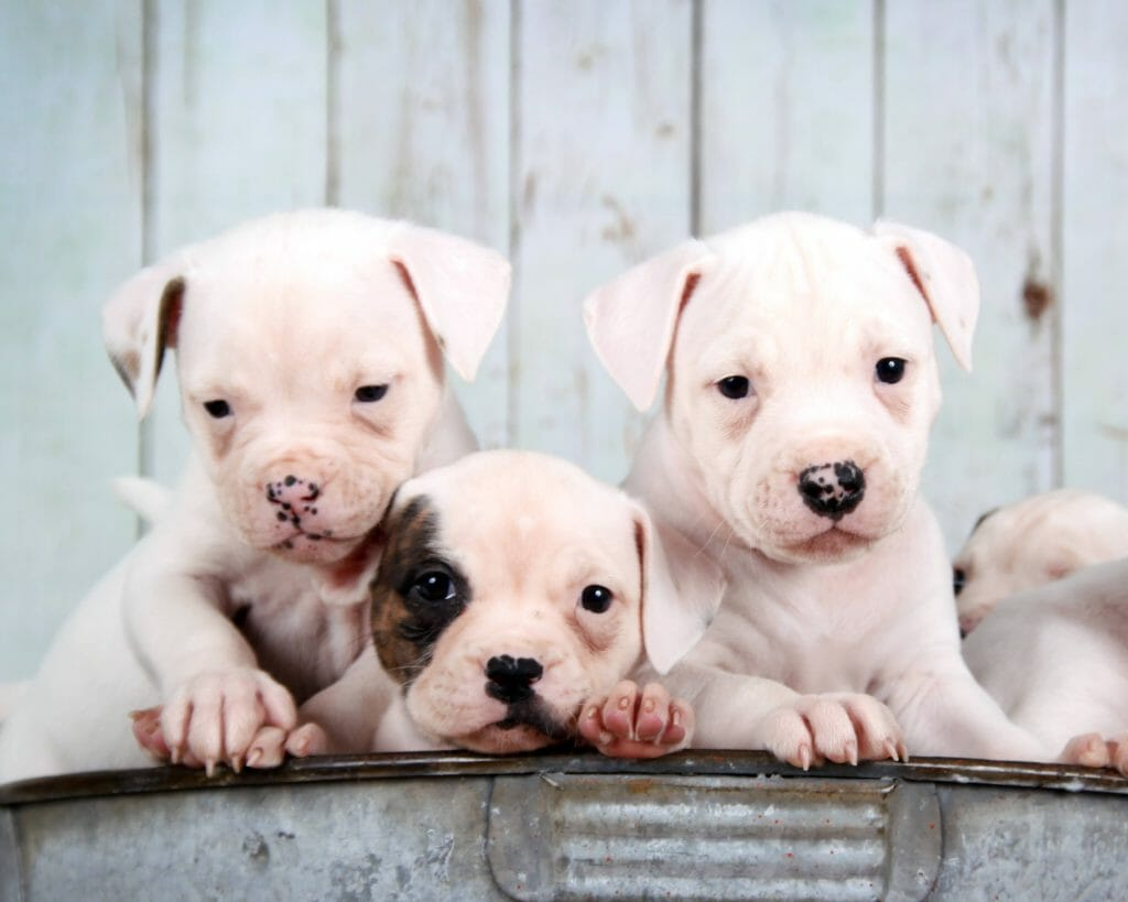about-rosebull-kennel-american-bulldogs